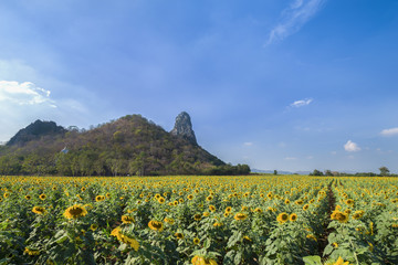 sunflower field with mountain and blue sky background