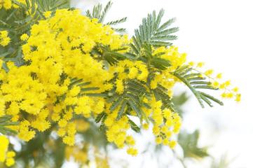 Acacia tree in blossom
