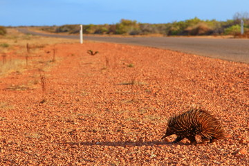 Echidna in Australian bush