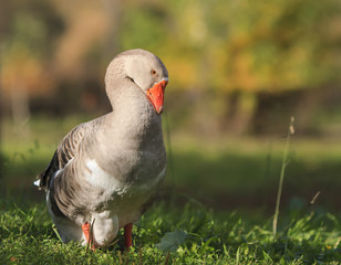 gray goose walking in the village on the green grass