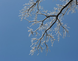 snowy branch on a blue background