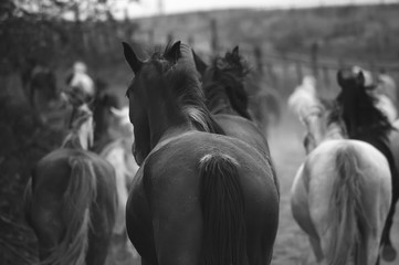 Monochrome image of horses on the nature. Black and white background photo