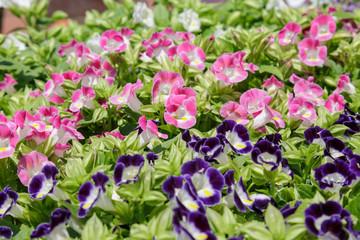 トレニア花壇