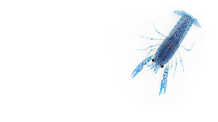 Blue crayfish on white background