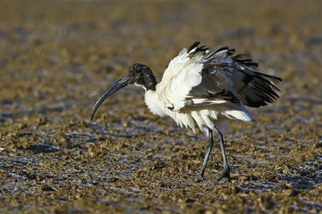 Sacred ibis, Threskiornis aethiopicus, in a frosted field in the winter with ruffled feathers