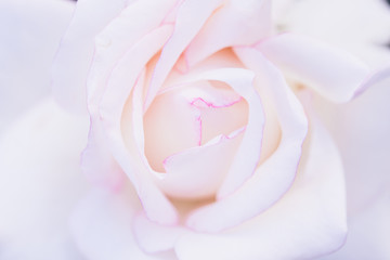 pink white rose flower, closeup beautiful softly gentle and romantic.