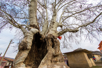 700 years old plane tree