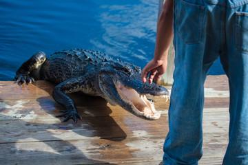American alligator (A. mississippiensis)