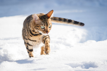 Bengal Cat in Snow