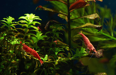 Red Shrimp in Freshwater Aquarium