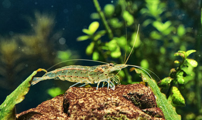 Amano Shrimp in Freshwater Aquarium