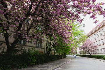 Pink sakura blossom on streets of town doring springtime