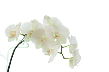 Tuinposter Orchidee white orchid wedding on a white background 5
