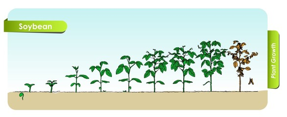 Есо Soybean grows from the seed stage plant growing