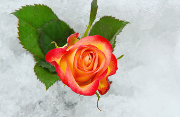 Colorful rose on the snow ground.