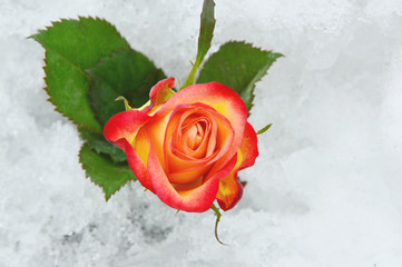 Colorful rose on the snow ground. flower on snow in the winter time.