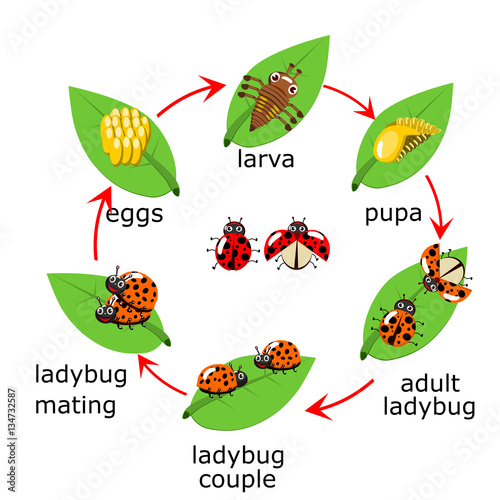 vector of ladybug life cycle for kids stock image and royalty free