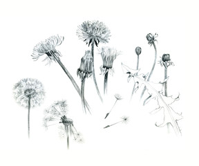 Hand-drawn dandelions, illustration, graphite, isolated on white background. Different stages of a dandelion.