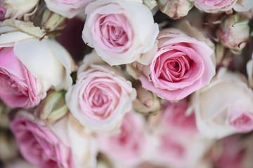 Foto op Canvas Bloemen Bright pink roses background