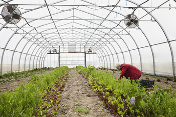 A large commercial horticultural polytunnel with fans in the ceiling, and plants growing in the soil. A woman working.
