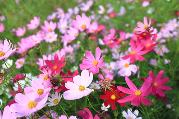 Purple, pink, red, cosmos flowers in the garden with blue sky and clouds background in vintage style soft focus.