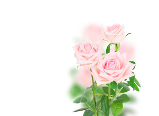 pink blooming fresh rose buds with green leaves over white background