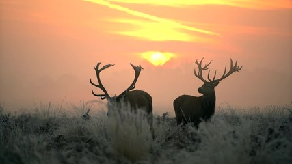 Wall Mural - Red deer in the morning sun