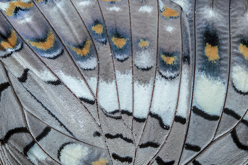 Close up Black Rajah (Charaxes solon sulphureus Jordan, 1900) Butterfly wing, butterfly wing detail texture background