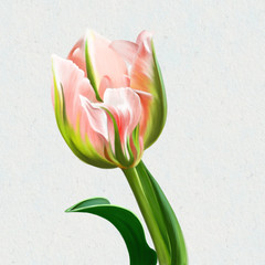 Delicate beautiful Tulip closeup isolated on white background