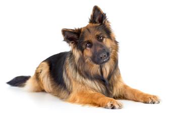 Papier Peint - German shepherd long-haired dog portrait studio isolated
