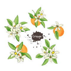 Set of isolated hand drawn oranges and flowers in sketch style.