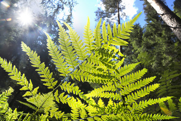Bright green fern leaves against the sky and trees in the forest, view from below