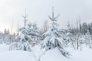Snow covered conifers in a winter forest landscape