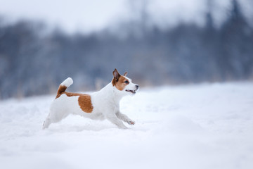Jack Russell Terrier, small active dog running in field