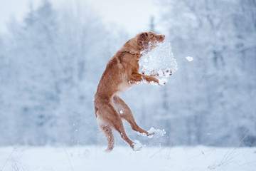 Nova Scotia Duck Tolling Retriever dog playing in the field