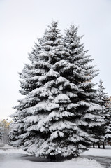 Spruce trees in the city covered with snow