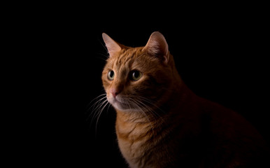 Beautiful ginger tabby, lit from one side, on dark background