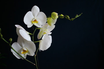 Close-up flowers white orchidea isolated on a dark background