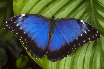 Owl eye butterfly blue wing