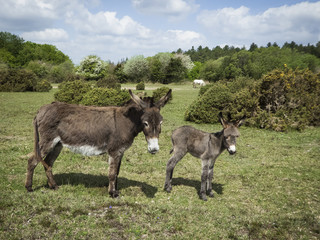 Donkey with foal in the New Forest