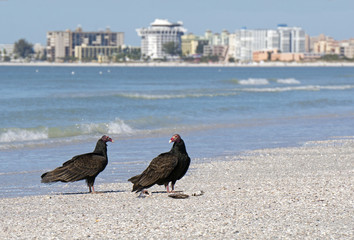 Turkey Vultures ( Cathartes aura) eating dead fish on a Florida beach.