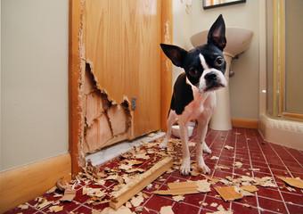 Naughty Boston Terrier has eaten the door