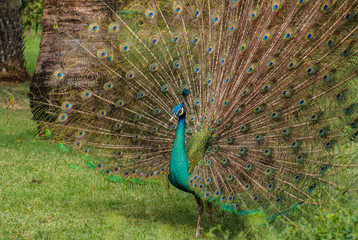 beautiful peacock with feathers outstretched