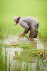 Thai farmer weeding weeds in the paddy field