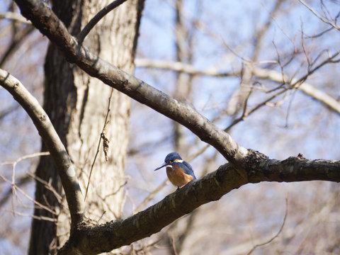 木の枝に止まるカワセミの雄