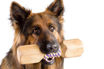 Papier Peint - Shepherd dog with wood dumbbell shape apporte training object isolated