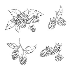 vector contour illustration of berries leaves and flowers raspberry