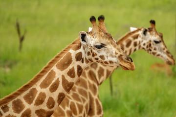 Closeup of two giraffes in Murchison Park, Uganda