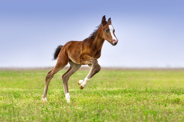 Beautiful bay foal run gallop on spring green pasture