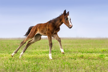 Beautiful bay foal run gallop on spring green pasture
